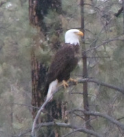 Bald Eagle, Gila National Forest, NM.